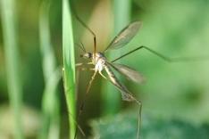Dengue-Fieber wird durch Mücken übertragen